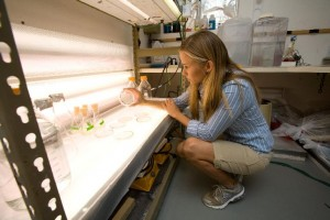 A researcher examines algae cultures at the Natural Energy Laboratory Hawaii Authority as part of a project with Shell oil company. ExxonMobil is the latest oil company to become involved in biofuels from algae, although a number of startup companies are investigating the technology